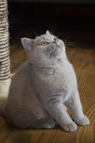 chaton British Shorthair et Longhair De Souricat's