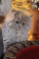 OBI-ONE de Souricat's - British Shorthair et Longhair
