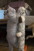 De Souricat's - Chaton disponible  - British Shorthair et Longhair