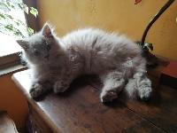 De Souricat's - British Shorthair et Longhair - Portée née le 11/04/2020