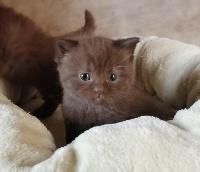 De Souricat's - British Shorthair et Longhair - Portée née le 14/07/2020