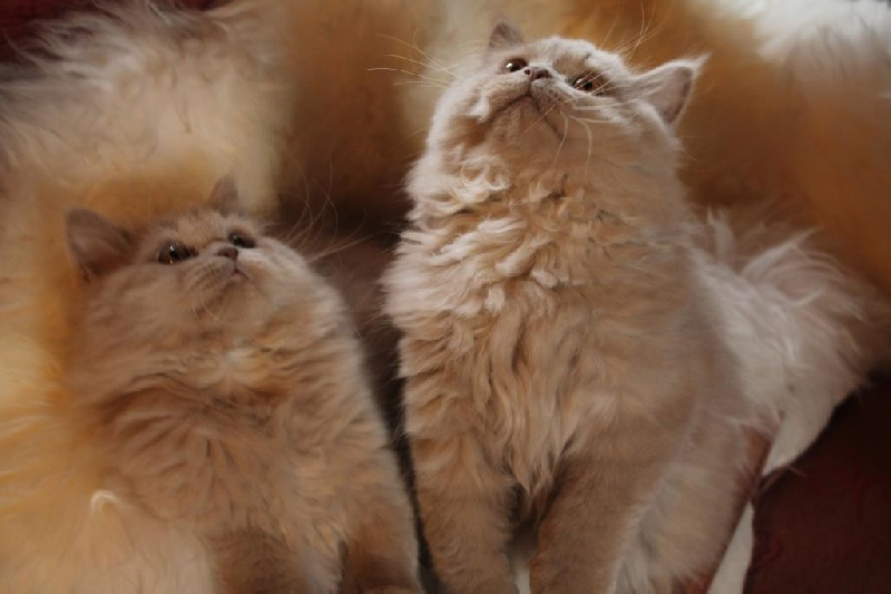 chaton British Shorthair et Longhair De Souricat's