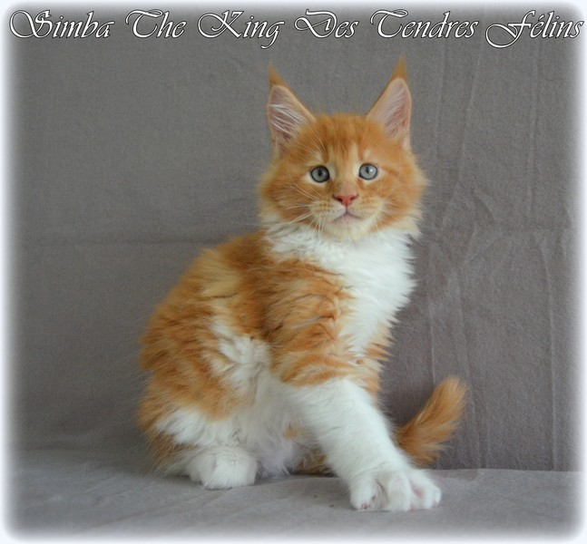 Simba the king -