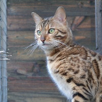 Couleur Bengal's - Chaton disponible  - Bengal