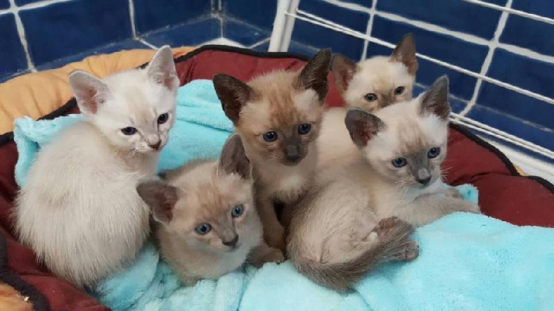 Elevage des lollicat 39 s eleveur de chats tonkinois poil court et poil long - Chaton tonkinois ...
