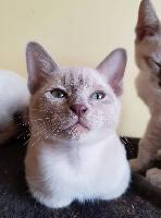 Des Lollicat's - Chaton disponible  - Tonkinois poil court et poil long