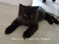 PATXY D'ARMOR EN ARGOAT - British Shorthair et Longhair