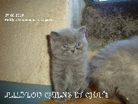 Paddy - British Shorthair et Longhair