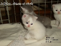 ROLLY - British Shorthair et Longhair