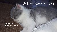 RUSSELL - British Shorthair et Longhair