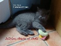 Petit Prince - British Shorthair et Longhair