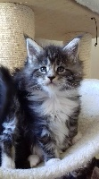 PIN-UP - Maine Coon