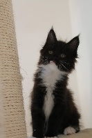 Olympe - Maine Coon
