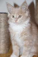 oh happy day - Maine Coon
