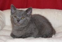 Ocicat Land - Chaton disponible  - Chartreux