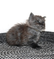 PATCHY - Maine Coon