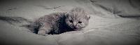 Des Ours De Pandora - British Shorthair et Longhair - Portée née le 18/02/2016