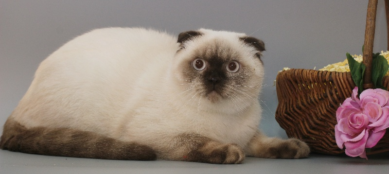 Mâle Scottish Fold yeux bleu