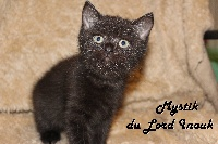 Du Lord Inouk - Chaton disponible  - Scottish Fold