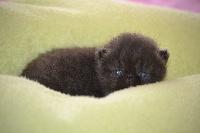 Opium black - Exotic Shorthair