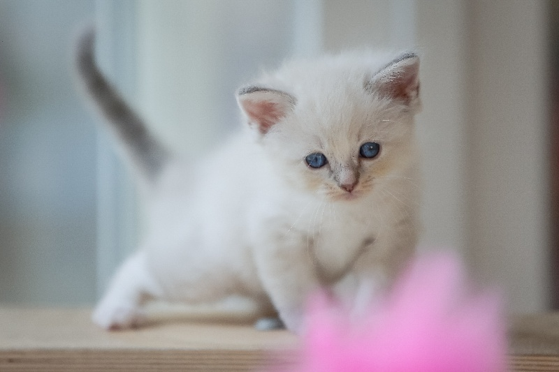Femelle blue tabby mitted -