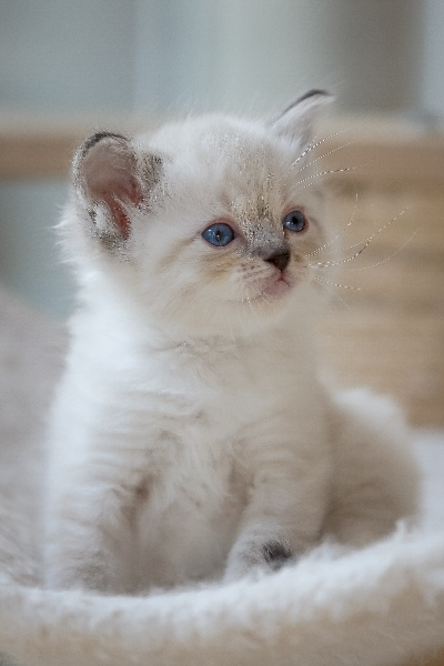 Femelle seal tabby mitted