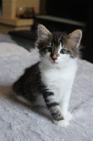 De Greenforest Cat - Chaton disponible  - Norvégien