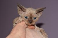 De Western Cat's - Chaton disponible  - Devon Rex