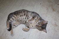 Celine Clerc - Chaton disponible  - Bengal