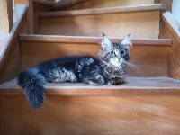 OWEN - Maine Coon