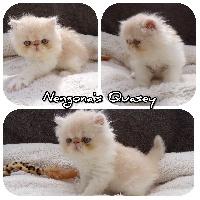 Quasey - Persan