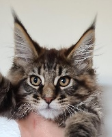 ROCKY - Maine Coon