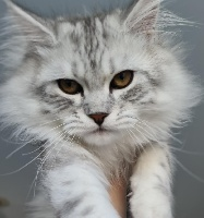 Snow Silver Love des Miamours - Maine Coon