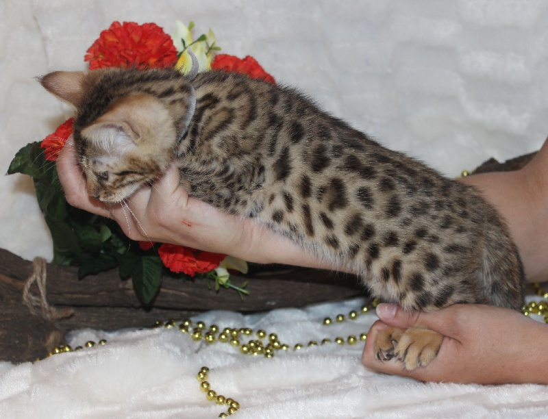 CHATON male bengal collier gris -