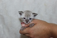 CHATON femelle snow collier rouge - Bengal