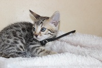 CHATON male brown collier noir - Bengal