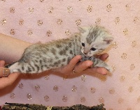 Of Little Panther - Chaton disponible  - Bengal