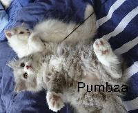 PUMBAA - British Shorthair et Longhair