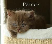 PERSEE - British Shorthair et Longhair