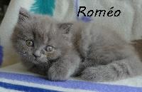 ROMEO - British Shorthair et Longhair