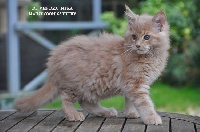 Di Vendra Nera - Chaton disponible  - Maine Coon