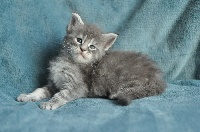 Gold And Green - Chaton disponible  - Maine Coon