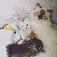 Of Diamond Rock - Chaton disponible  - British Shorthair et Longhair