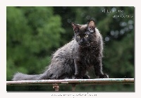 ROCK-SY - Maine Coon