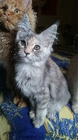 Des Titans Du Maine - Chaton disponible  - Maine Coon