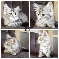 Of Pretty Little Cat - Chaton disponible  - Sibérien