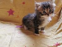 SIGGI Of Pretty Little Cat - Sibérien