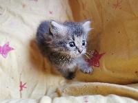 SAM Of Pretty Little Cat - Sibérien