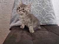 SOBEK Of Pretty Little Cat - Sibérien