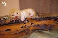Oh'Vivaldi - British Shorthair et Longhair